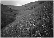 Lupine, Gorman Hills. California, USA ( black and white)