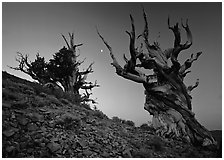 Old Bristlecone Pine trees and moon at sunset, Discovery Trail, Schulman Grove. California, USA ( black and white)