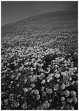 California Poppies and hill. Antelope Valley, California, USA (black and white)