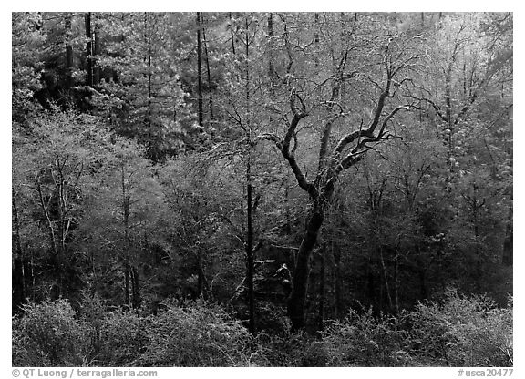 Bare trees with frost. California, USA (black and white)