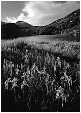 Irises and lake. California, USA ( black and white)