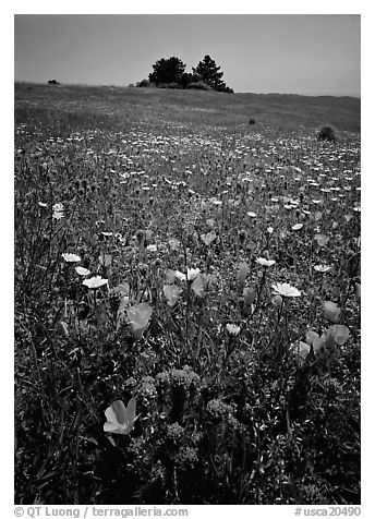 Meadows covered with wildflowers in the spring, Russian Ridge Open Space Preserve. Palo Alto,  California, USA (black and white)