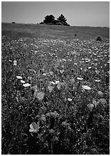 Meadows covered with wildflowers in the spring, Russian Ridge Open Space Preserve. Palo Alto,  California, USA ( black and white)