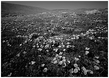 California Poppies, hills W of the Preserve. Antelope Valley, California, USA (black and white)