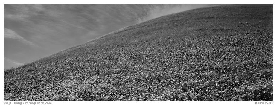 Hill covered with California poppies. Antelope Valley, California, USA (black and white)