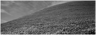 Hill covered with California poppies. Antelope Valley, California, USA (Panoramic black and white)