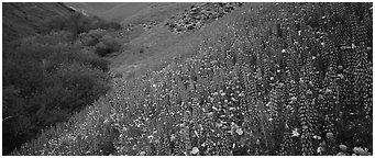 Thick lupine and California poppies on hillside. California, USA (Panoramic black and white)