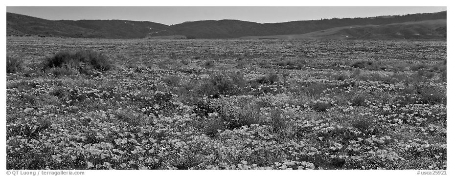Valley flat covered with California poppies. Antelope Valley, California, USA (black and white)