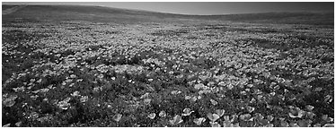 Spring landscape with California poppy flower carpet. Antelope Valley, California, USA (Panoramic black and white)