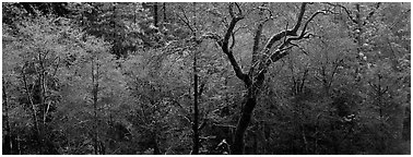 Bare trees in winter. California, USA (Panoramic black and white)