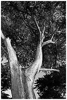 Monterey Pine at Lover's Point. Pacific Grove, California, USA ( black and white)