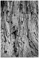 Detail of redwood tree bark. Big Basin Redwoods State Park,  California, USA ( black and white)