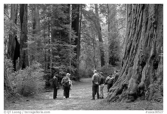 82c3bdbcaf7 Black and White Picture Photo  Tourists amongst redwood trees. Big Basin  Redwoods State Park