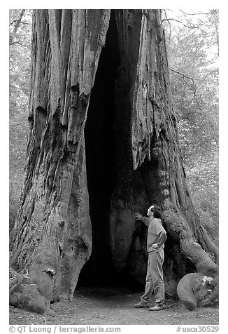 Visitor standing at the base of a hollowed-out redwood tree. Big Basin Redwoods State Park,  California, USA (black and white)