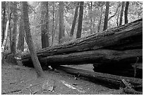 Fallen redwood tree. Big Basin Redwoods State Park,  California, USA ( black and white)