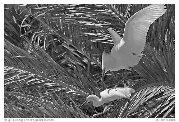 Egrets in palm trees, Baylands. Palo Alto,  California, USA (black and white)