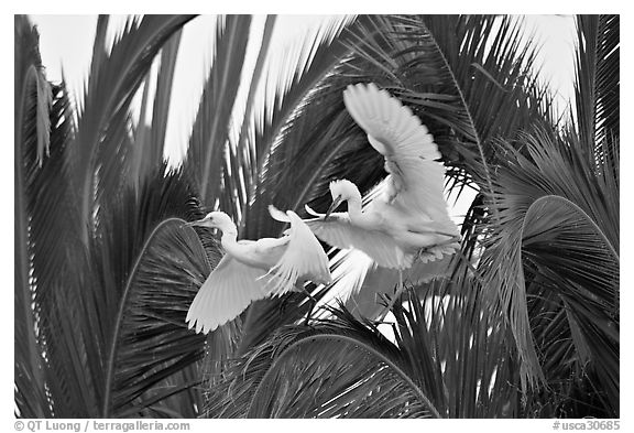 Two egrets in tree, Baylands. Palo Alto,  California, USA (black and white)