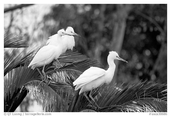 Three egrets resting, Palo Alto Baylands. Palo Alto,  California, USA (black and white)
