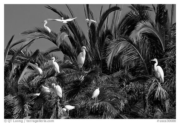 Egret rookery, Baylands. Palo Alto,  California, USA (black and white)