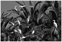 Egret rookery, Baylands. Palo Alto,  California, USA ( black and white)