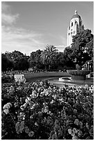 Roses, Green Library and Hoover Tower,  late afternoon. Stanford University, California, USA (black and white)