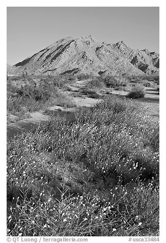 Wildflowers and Sheep Hole Mountains. California, USA (black and white)