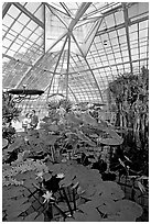 Aquatic plants section inside the Conservatory of Flowers. San Francisco, California, USA ( black and white)