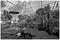 Water lilies in the the Conservatory of Flowers. San Francisco, California, USA ( black and white)