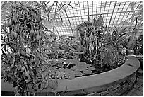 Carnivorous  plant in the Aquatic plants section of the Conservatory of Flowers. San Francisco, California, USA ( black and white)