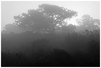 Pine trees in fog, sunrise, Torrey Pines State Preserve. La Jolla, San Diego, California, USA (black and white)