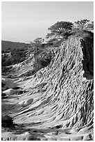 Rare Torrey Pine trees on sandstone promontory,  Torrey Pines State Preserve. La Jolla, San Diego, California, USA (black and white)