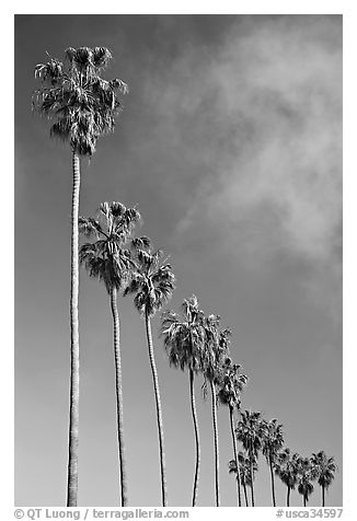 Row of palm trees. La Jolla, San Diego, California, USA (black and white)