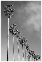 Row of palm trees. La Jolla, San Diego, California, USA ( black and white)