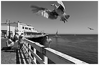 Seagull landing, Wharf. Santa Cruz, California, USA ( black and white)