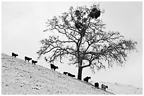 Cows and tree with mistletoe on snowy hill, Mount Hamilton Range foothills. San Jose, California, USA (black and white)