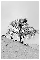 Cows and oak tree on snow-covered slope, Mount Hamilton Range foothills. San Jose, California, USA ( black and white)