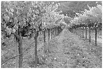 Vineyard, Gilroy. California, USA (black and white)