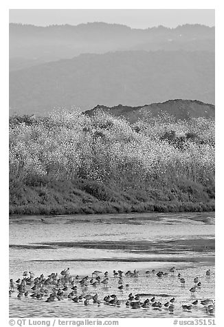 Birds on tidal flats and hills, Palo Alto Baylands. Palo Alto,  California, USA (black and white)