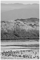Birds on tidal flats and hills, Palo Alto Baylands. Palo Alto,  California, USA ( black and white)