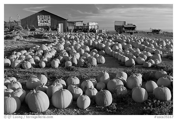 Rows of pumpkins on farm, late afternoon. California, USA (black and white)
