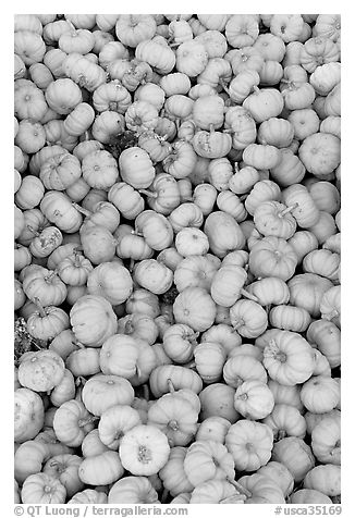 Pletora of small pumpkins. California, USA (black and white)
