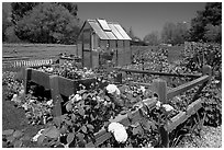 Roses and small shed, Sunset Gardens. Menlo Park,  California, USA ( black and white)