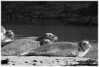 Seals and stream, Pescadero Creek State Beach. San Mateo County, California, USA ( black and white)