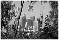 Downtown skyline seen through trees. Los Angeles, California, USA ( black and white)