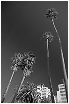 Palm trees and hotels. Santa Monica, Los Angeles, California, USA ( black and white)