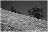 Poppies and Oak trees on hillside. El Portal, California, USA (black and white)