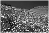 Sierra foothills covered with poppies and lupine. El Portal, California, USA (black and white)