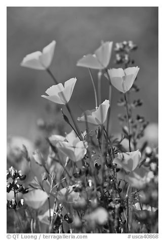 Close-up of California poppies and lupines. El Portal, California, USA (black and white)