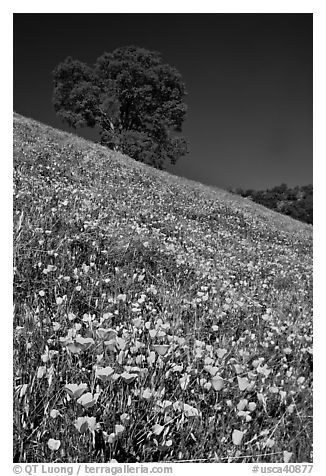 Carpet of poppies and oak tree. El Portal, California, USA (black and white)