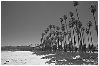 East Beach and palm trees. Santa Barbara, California, USA ( black and white)